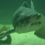 acvariu rechin